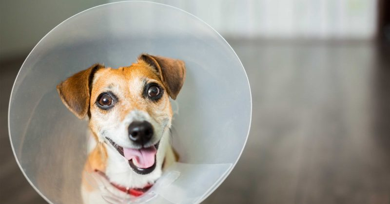 Dog In Cone Dog_Cat_Spay_Neuter_Connecticut