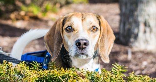 Common Pet Names Beagle Cooper