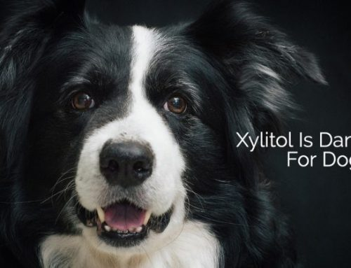 Xylitol Dangers for Dogs